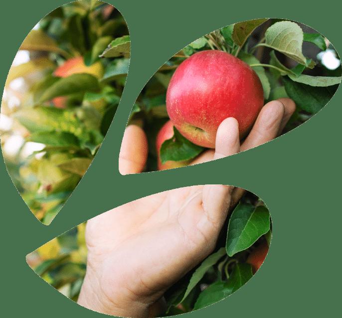 תפוח ביד